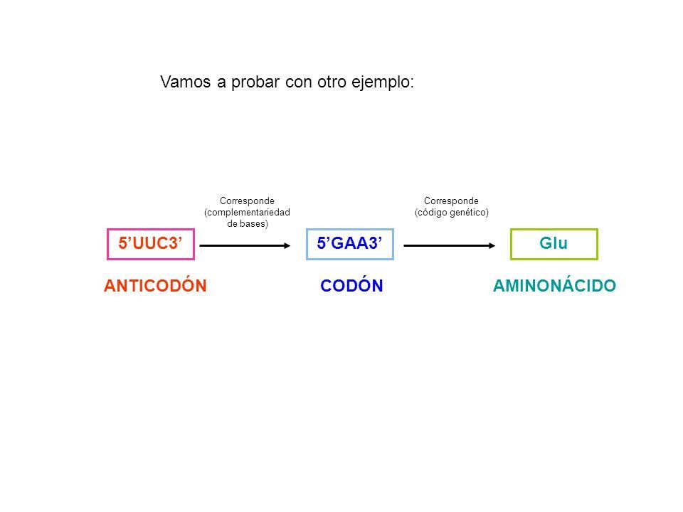 5UUC3 ANTICODÓN 5GAA3 CODÓN Corresponde (complementariedad de bases) Glu AMINONÁCIDO Corresponde (código genético) Vamos a probar con otro ejemplo:
