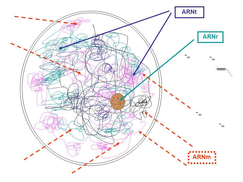 ARNt ARNr ARNm