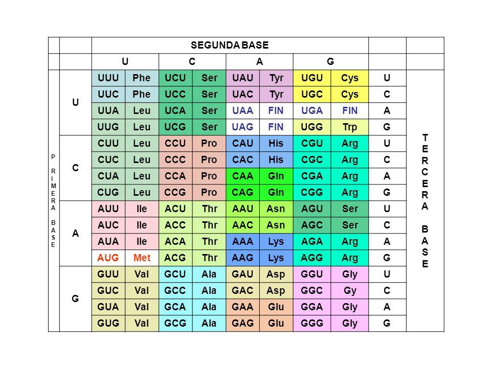 Centro catalítico AMINOACIL-ARNt-SINTETASA Sitio de reconocimiento de anticodón AAA Phe Al anticódón 5AAA3 le corresponde el codón 5UUU3; en la tabla vemos que corresponde con Phe
