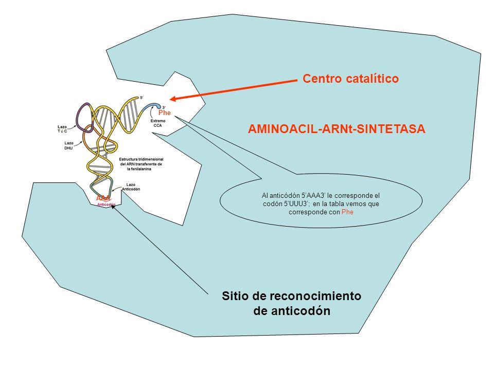 Centro catalítico AMINOACIL-ARNt-SINTETASA Sitio de reconocimiento de anticodón AAA Phe Al anticódón 5AAA3 le corresponde el codón 5UUU3; en la tabla