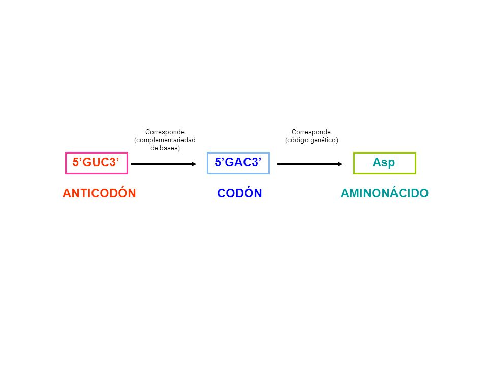 5GUC3 ANTICODÓN 5GAC3 CODÓN Corresponde (complementariedad de bases) Asp AMINONÁCIDO Corresponde (código genético)