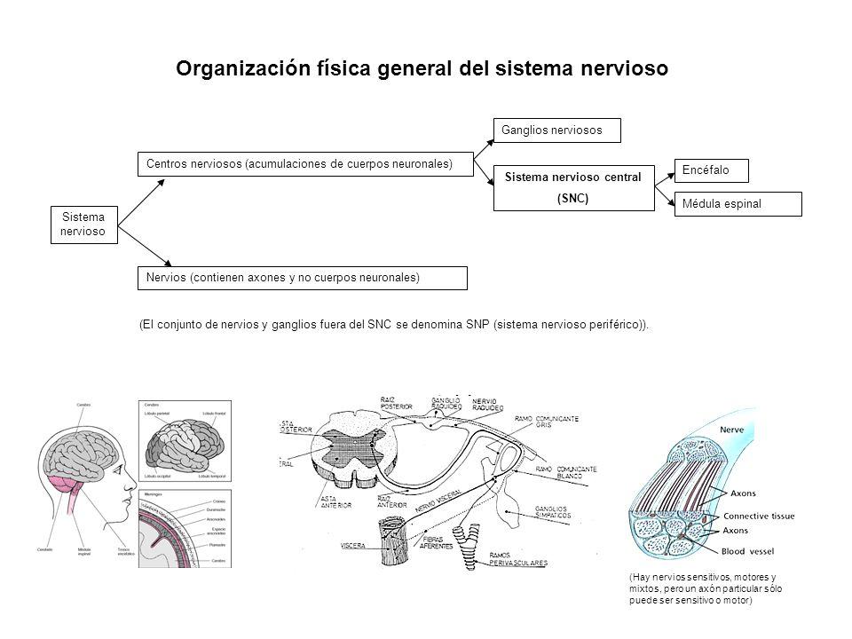 a b c d e f g h Organización física general del SNC a) Telencéfalo (hemisferios cerebrales) b) Diencéfalo (tallo cerebral) c) Mesencéfalo (tallo cerebral) d) Metencéfalo (cerebelo en su parte posterior) e) Mielencéfalo = bulbo raquídeo f) Médula espinal g) Ventrículos encefálicos: Primer ventrículo derecho y primer ventrículo izquierdo, segundo ventrículo y tercer ventrículo.