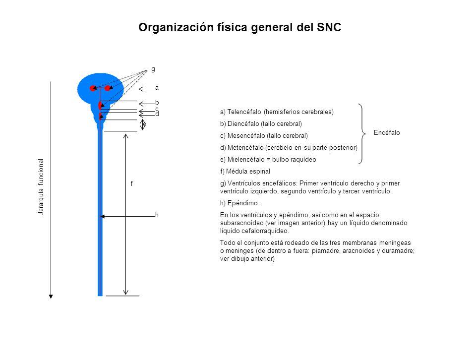 Organización funcional general del SN Sistema nervioso Sistema nervioso voluntario (consciente) Sistema nervioso autónomo (automático, vegetativo, inconsciente) Sistema nervioso simpático (= toracolumbar) Sistema nervioso parasimpático (= cráneo-sacro) Estimula el flujo de saliva Enlentece el ritmo cardíaco Contrae los bronquios Estimula el peristaltismo y la secreción de jugos digestivos Estimula la liberación de bilis Contrae la vejiga urinaria En general prepara al cuerpo para el propio mantenimiento y el reposo Dilata las pupilas Inhibe la producción de saliva Acelera el ritmo cardiaco Dilata los bronquios Inhibe el peristaltismo y la secreción de jugos digestivos Promueve la liberación de glucosa a partir del glucógeno hepático Estimula la producción de adrenalina y noradrenalina Inhibe la contracción de la vejiga urinaria En general: prepara el cuerpo para la acción, la lucha o la huida.