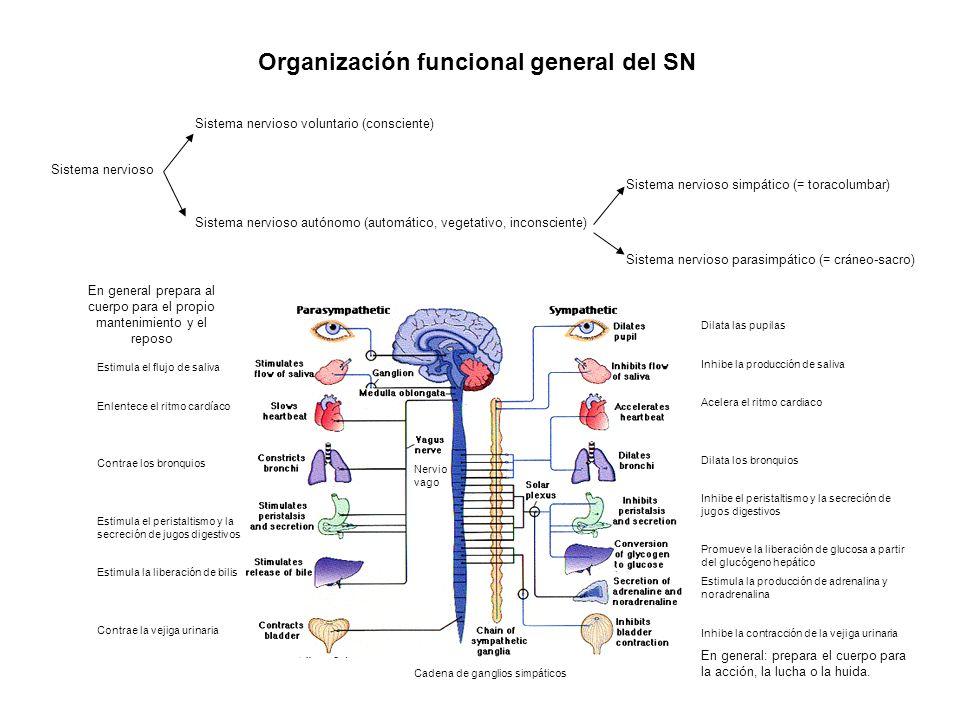 Organización funcional general del SN Sistema nervioso Sistema nervioso voluntario (consciente) Sistema nervioso autónomo (automático, vegetativo, inc