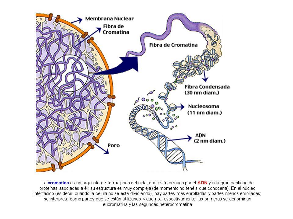 La cromatina es un orgánulo de forma poco definida, que está formado por el ADN y una gran cantidad de proteínas asociadas a él; su estructura es muy