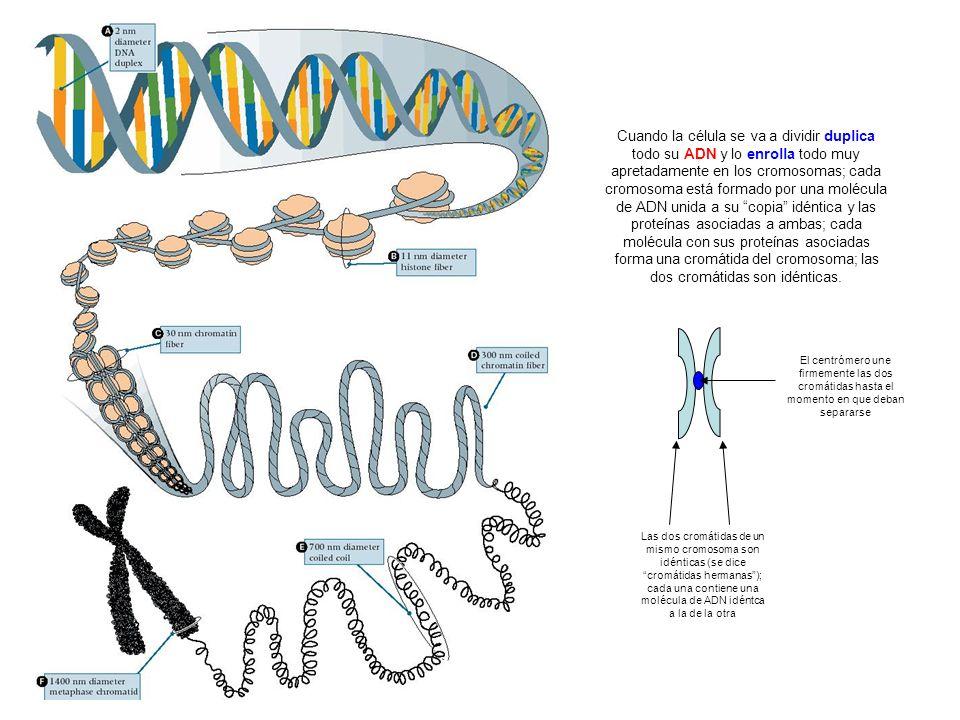Cuando la célula se va a dividir duplica todo su ADN y lo enrolla todo muy apretadamente en los cromosomas; cada cromosoma está formado por una molécu
