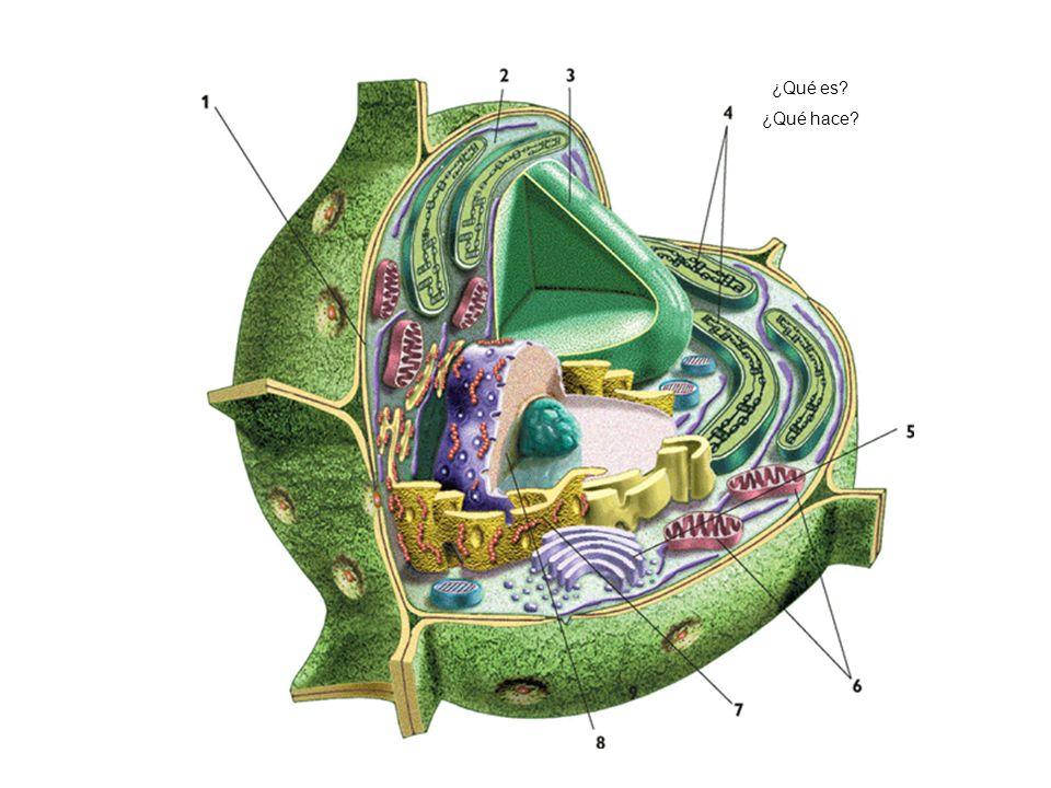 http://www.kalipedia.com/ciencias-vida/tema/esquema-estructura-celula- vegetal.html?x1=20070417klpcnavid_24.Kes&x=20070417klpcnavid_25.Kes ¿Qué es? ¿Q