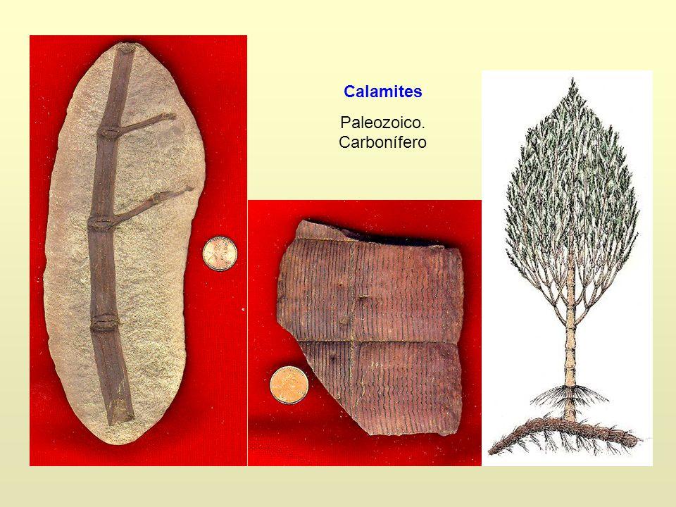 Calamites Paleozoico. Carbonífero