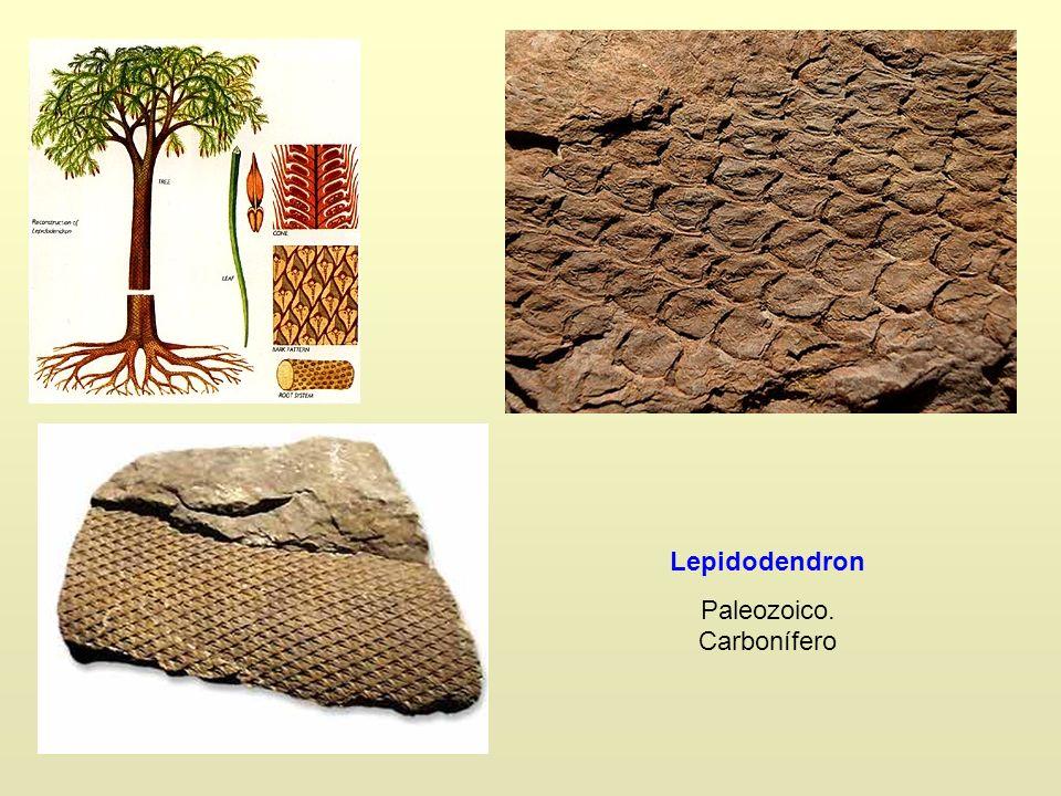 Lepidodendron Paleozoico. Carbonífero
