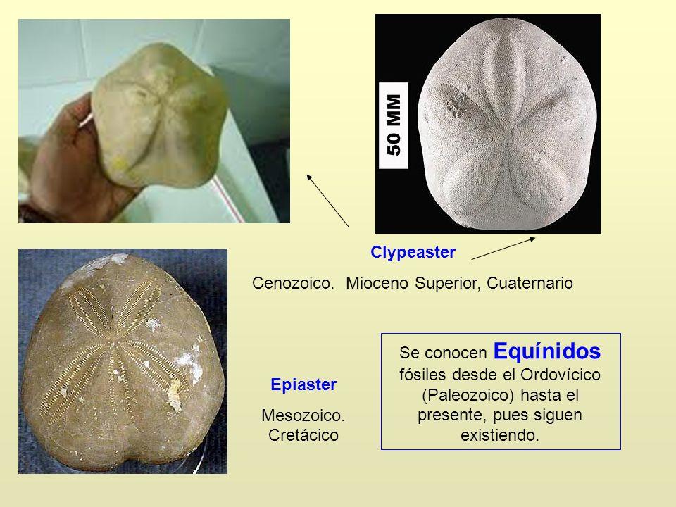 Clypeaster Cenozoico. Mioceno Superior, Cuaternario Epiaster Mesozoico. Cretácico Se conocen Equínidos fósiles desde el Ordovícico (Paleozoico) hasta