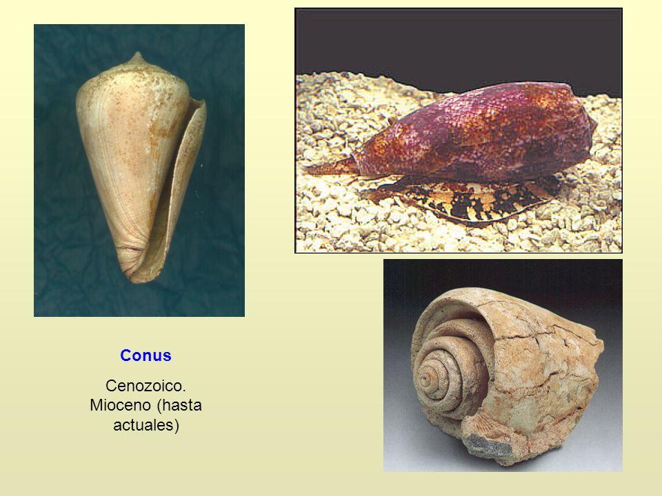 Conus Cenozoico. Mioceno (hasta actuales)