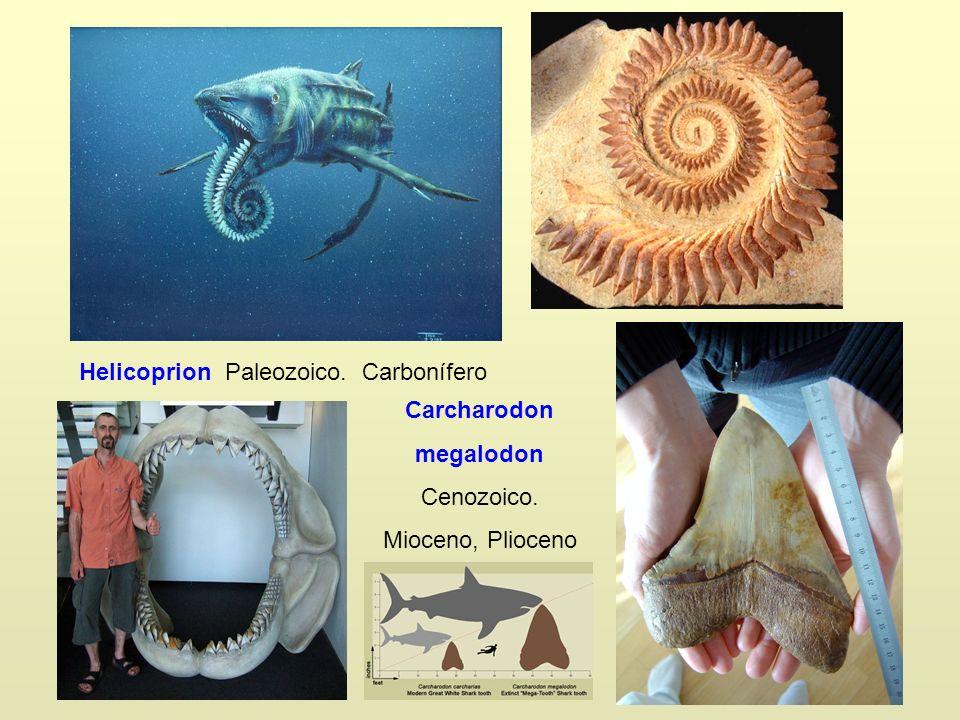 Helicoprion Paleozoico. Carbonífero Carcharodon megalodon Cenozoico. Mioceno, Plioceno