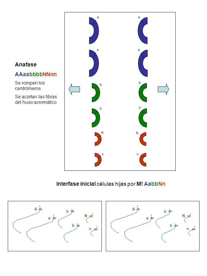 AA b N N Anafase AAaabbbbNNnn Se rompen los centrómeros. Se acortan las fibras del huso acromático b aa b b n A b N Interfase inicial células hijas po