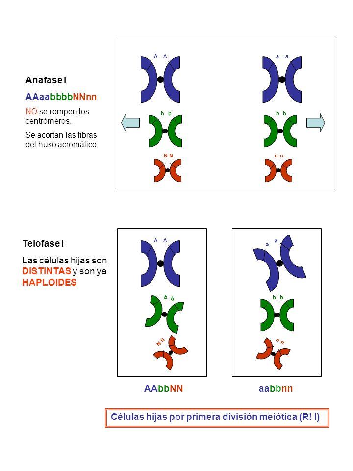 AA b NN b aa bb nn Anafase I AAaabbbbNNnn NO se rompen los centrómeros. Se acortan las fibras del huso acromático Telofase I Las células hijas son DIS