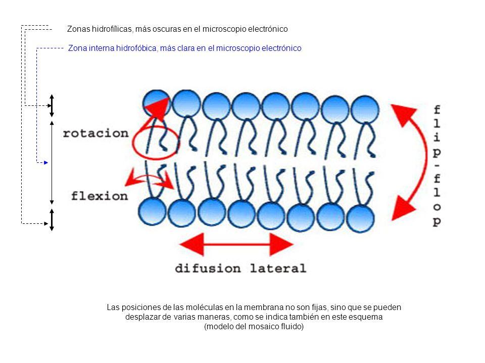 Zonas hidrofílicas, más oscuras en el microscopio electrónico Zona interna hidrofóbica, más clara en el microscopio electrónico Las posiciones de las moléculas en la membrana no son fijas, sino que se pueden desplazar de varias maneras, como se indica también en este esquema (modelo del mosaico fluido)