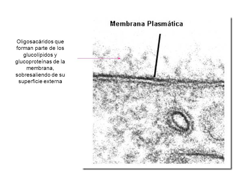 http://biologia.laguia2000.com/wp-content/uploads/2010/06/mb_met_thumb.jpg Oligosacáridos que forman parte de los glucolípidos y glucoproteínas de la membrana, sobresaliendo de su superficie externa