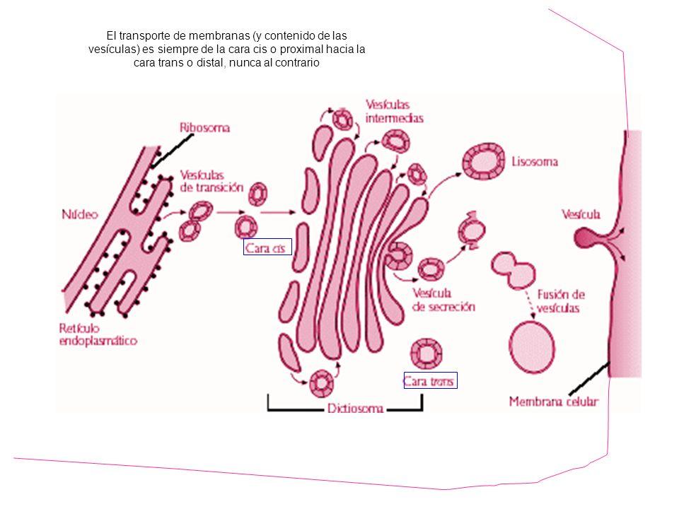 http://www.hiru.com/biologia/los-organulos-celulares El transporte de membranas (y contenido de las vesículas) es siempre de la cara cis o proximal hacia la cara trans o distal, nunca al contrario