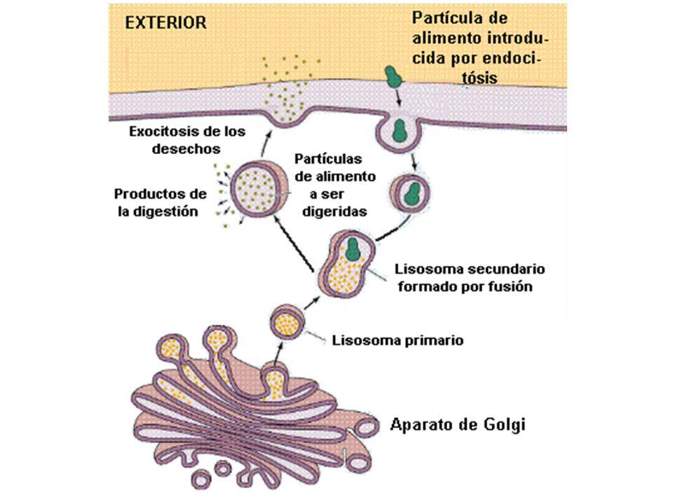 http://www.efn.uncor.edu/dep/biologia/intrbiol/lisoso.gif