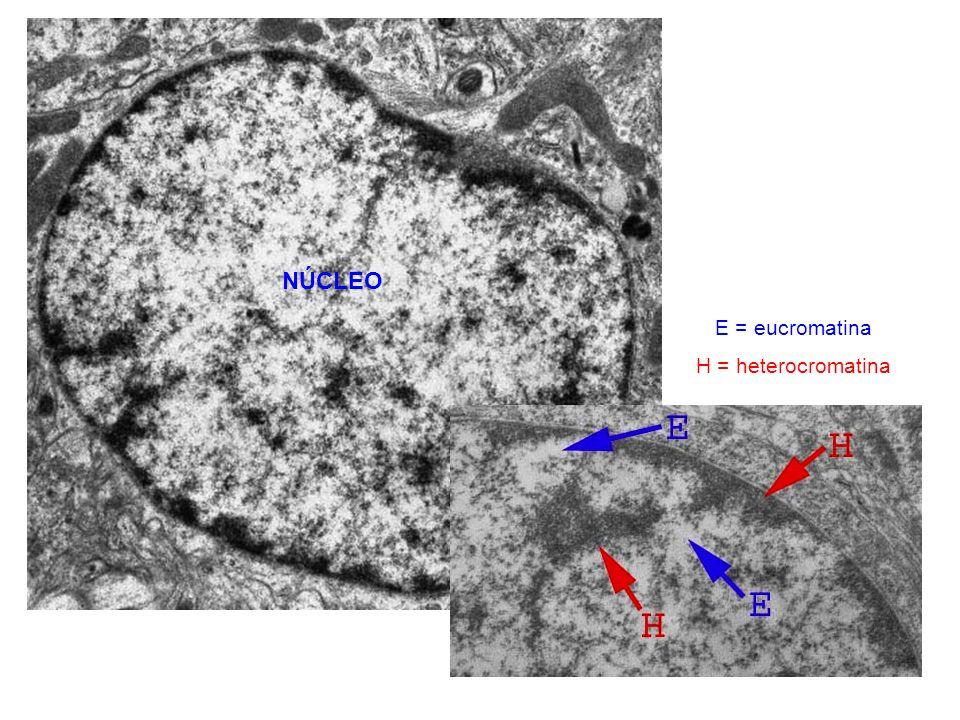 http://www2.uah.es/biologia_celular/LaCelula/Cel4Nuc.html E = eucromatina H = heterocromatina NÚCLEO
