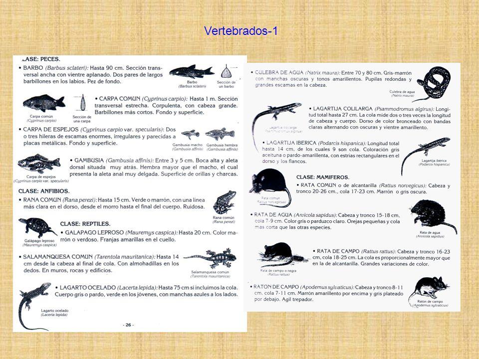 Vertebrados-2 Los mamíferos son en general difíciles de ver en el campo, es más frecuente encontrar sus rastros o marcas que a ellos mismos, sobre todo de día.