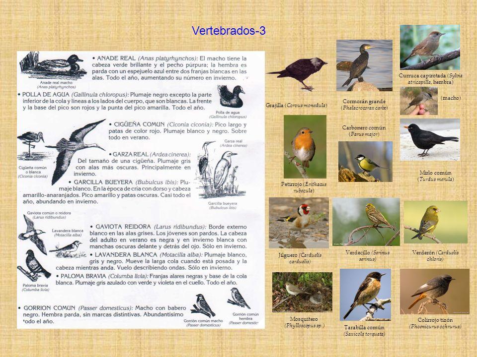 Grajilla ( Corvus monedula ) Cormorán grande ( Phalacrocorax carbo ) Mirlo común ( Turdus merula ) Carbonero común ( Parus major ) Vertebrados-3 Jilgu