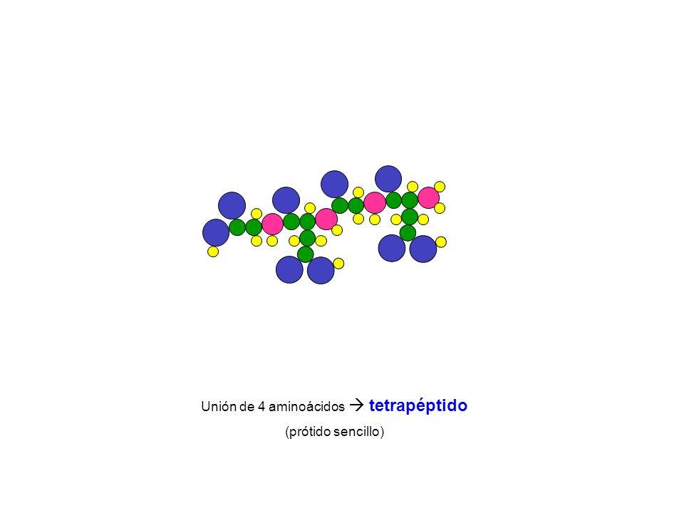 Unión de 4 aminoácidos tetrapéptido (prótido sencillo)