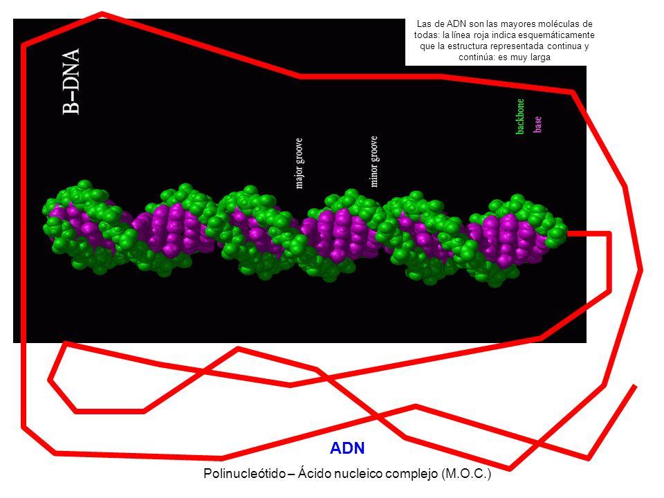 ADN Polinucleótido – Ácido nucleico complejo (M.O.C.) Las de ADN son las mayores moléculas de todas: la línea roja indica esquemáticamente que la estructura representada continua y continúa: es muy larga