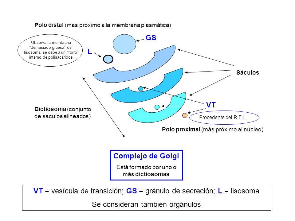 Complejo de Golgi Está formado por uno o más dictiosomas Sáculos Dictiosoma (conjunto de sáculos alineados) Polo proximal (más próximo al núcleo) Polo