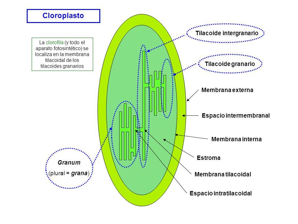 Cloroplasto Membrana externa Membrana interna Espacio intermembranal Estroma Membrana tilacoidal Espacio intratilacoidal Granum (plural = grana) Tilac