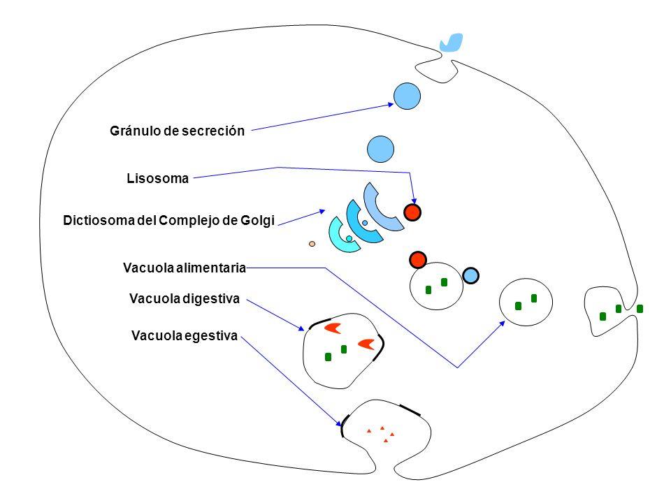 Vacuola alimentaria Vacuola digestiva Vacuola egestiva Gránulo de secreción Lisosoma Dictiosoma del Complejo de Golgi