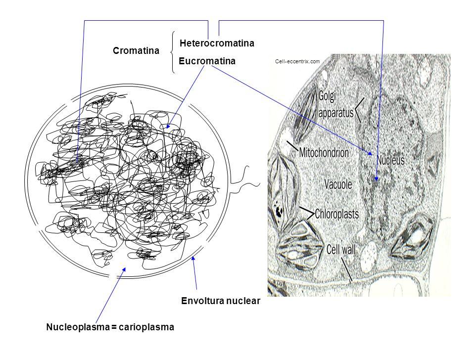 Cell-eccentrix.com Nucleoplasma = carioplasma Heterocromatina Eucromatina Cromatina Envoltura nuclear