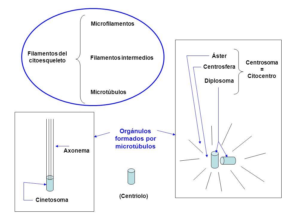 Filamentos del citoesqueleto Microfilamentos Filamentos intermedios Microtúbulos (Centriolo) Diplosoma Centrosfera Áster Centrosoma = Citocentro Cinet
