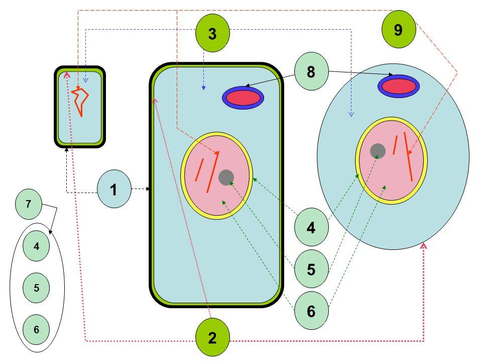 ADN El jefe absoluto de la célula… …bien protegido… …y muy bien comunicado