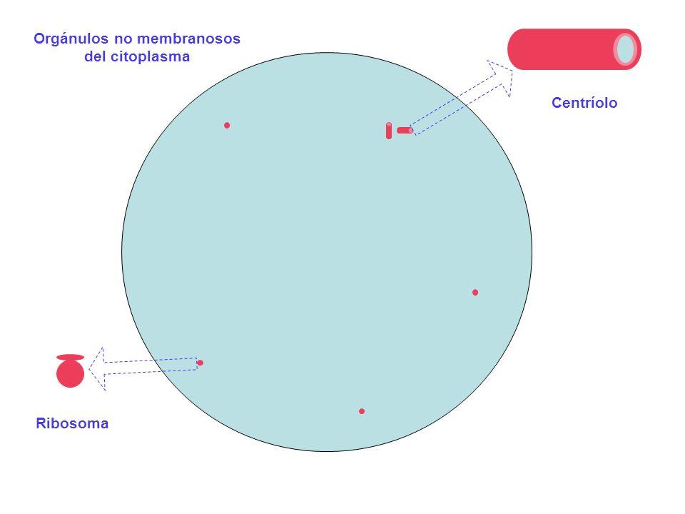 Orgánulos no membranosos del citoplasma Centríolo Ribosoma