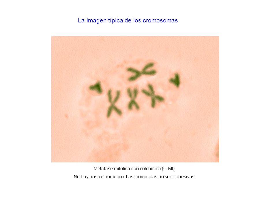 Metafase mitótica con colchicina (C-M!) No hay huso acromático. Las cromátidas no son cohesivas La imagen típica de los cromosomas