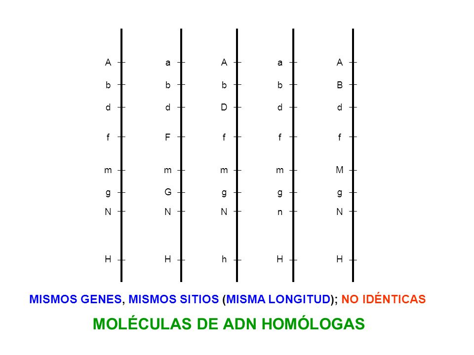 A b d f m g N H a b d F m G N H A b D f m g N h a b d f m g n H A B d f M g N H MISMOS GENES, MISMOS SITIOS (MISMA LONGITUD); NO IDÉNTICAS MOLÉCULAS D