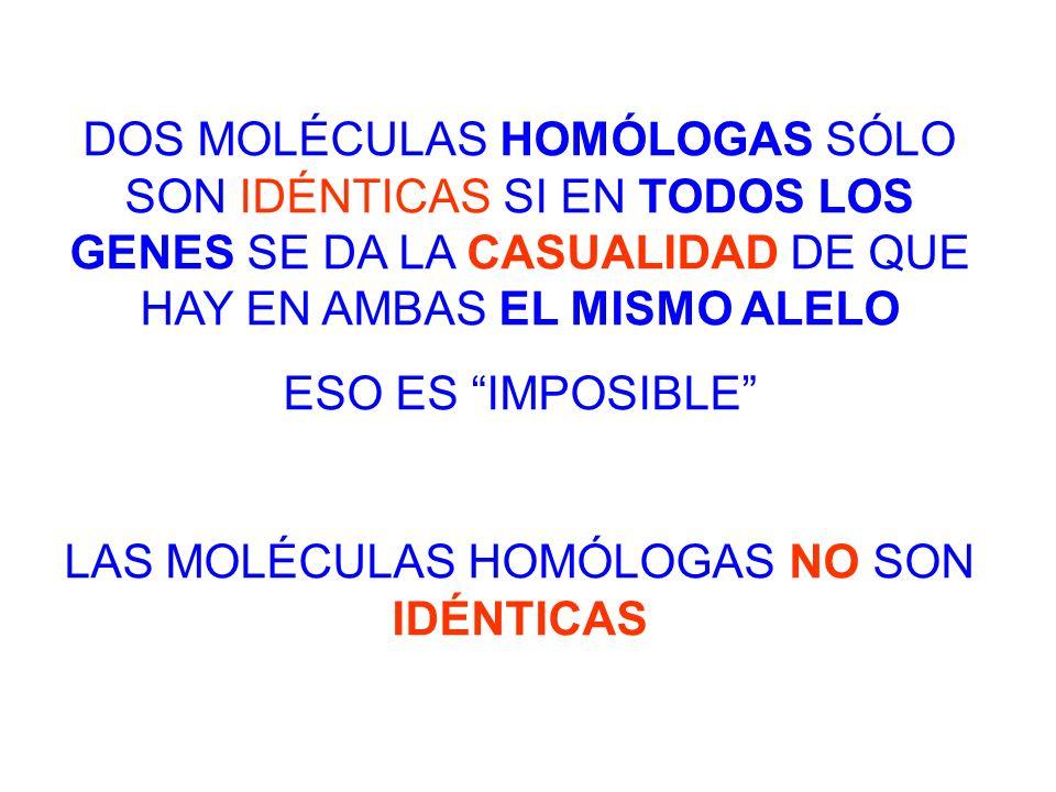 DOS MOLÉCULAS HOMÓLOGAS SÓLO SON IDÉNTICAS SI EN TODOS LOS GENES SE DA LA CASUALIDAD DE QUE HAY EN AMBAS EL MISMO ALELO ESO ES IMPOSIBLE LAS MOLÉCULAS