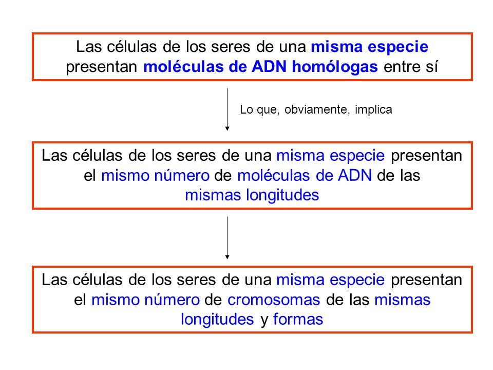 Las células de los seres de una misma especie presentan moléculas de ADN homólogas entre sí Las células de los seres de una misma especie presentan el