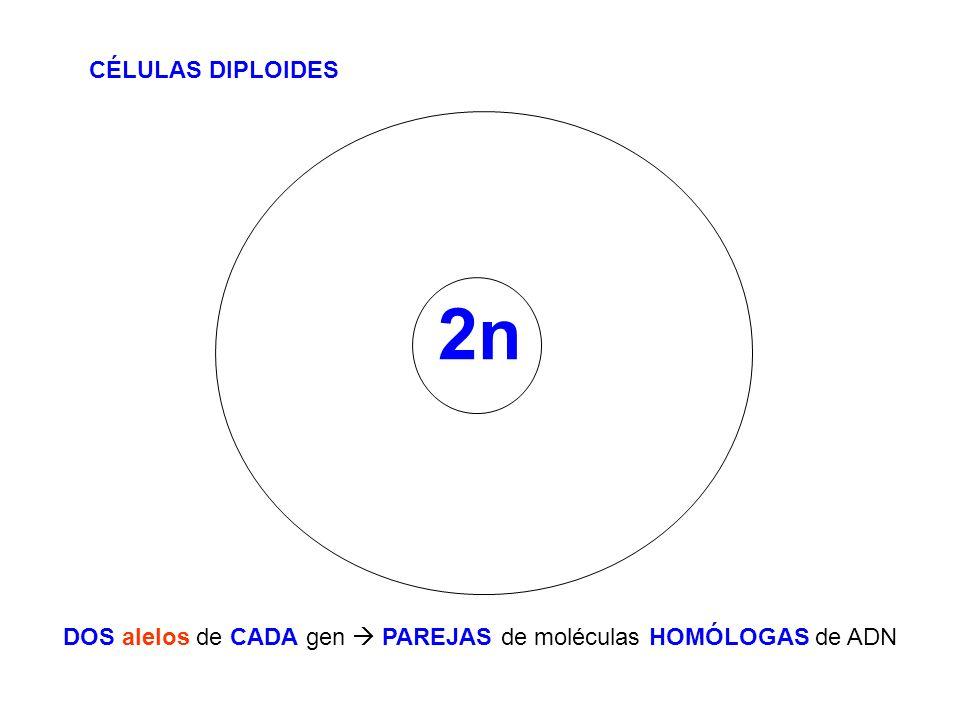 2n CÉLULAS DIPLOIDES DOS alelos de CADA gen PAREJAS de moléculas HOMÓLOGAS de ADN