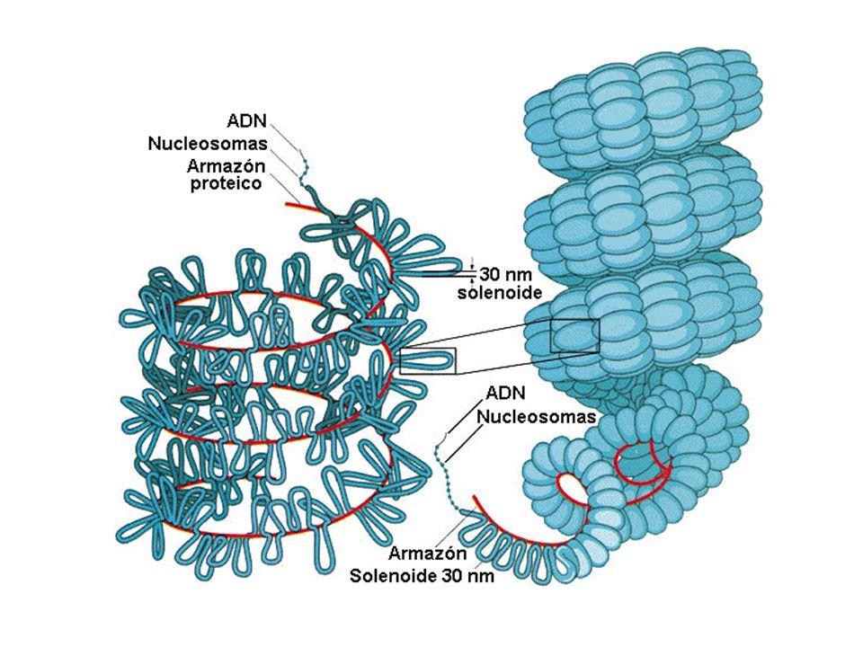ReplicaciónEnrollamiento CROMOSOMA Las dos cromátidas hermanas son idénticas