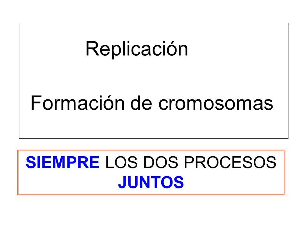 Replicación Formación de cromosomas SIEMPRE LOS DOS PROCESOS JUNTOS