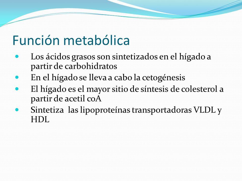 Función metabólica Los ácidos grasos son sintetizados en el hígado a partir de carbohidratos En el hígado se lleva a cabo la cetogénesis El hígado es