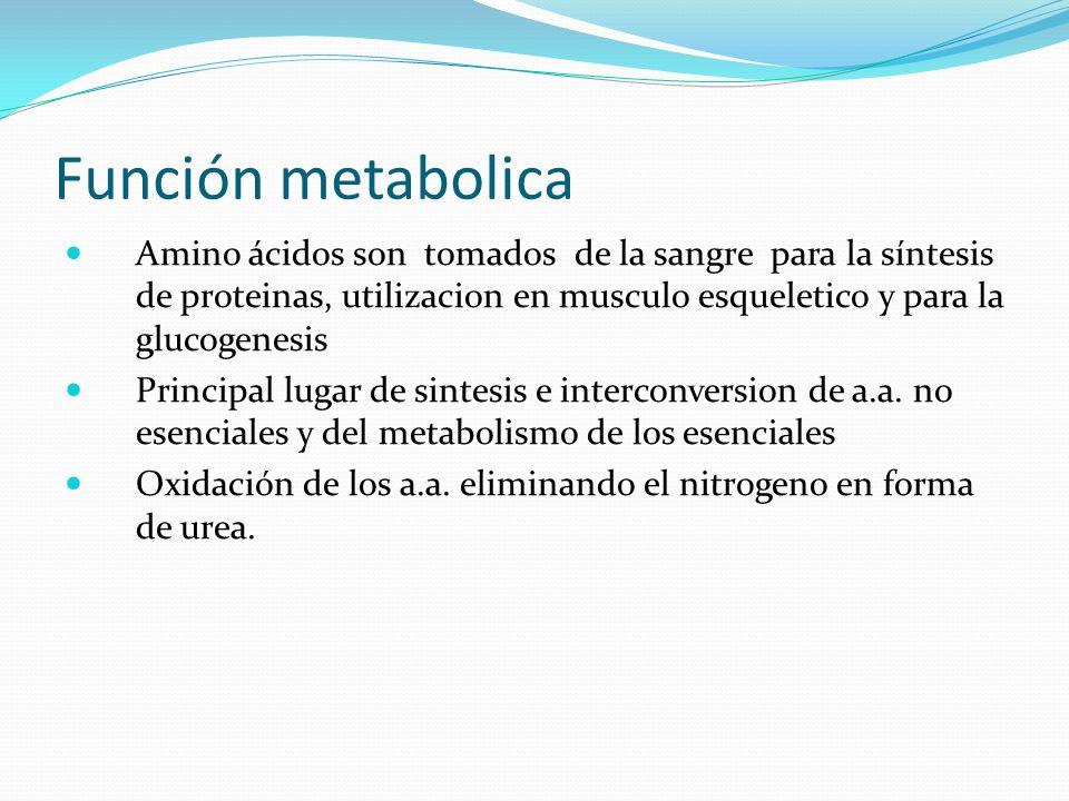 Función metabolica Amino ácidos son tomados de la sangre para la síntesis de proteinas, utilizacion en musculo esqueletico y para la glucogenesis Prin