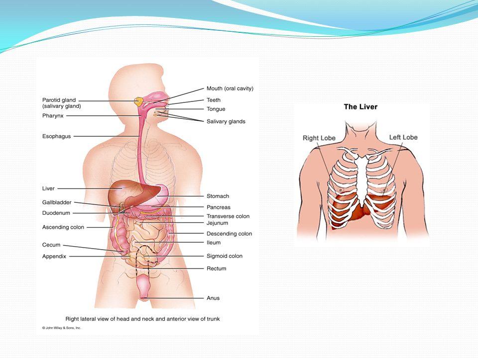 Función metabólica La glucosa se almacena como glucógeno 70 gramos Es favorecido por la insulina Glucogenolisis favorecida por adrenalina y glucagon Gluconeogenesis: La producción de glucosa a partir de aminoácidos y lactato se produce a través del ciclo del acido láctico (cori) y de la alanina producidas a partir del musculo