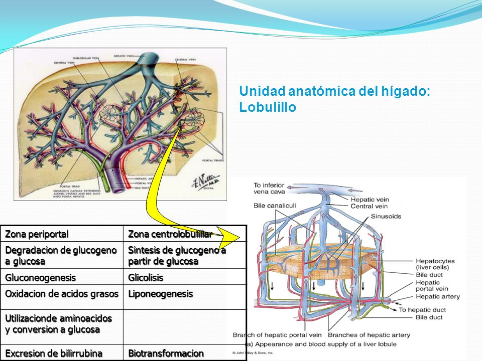 Unidad anatómica del hígado: Lobulillo Zona periportal Zona centrolobulillar Degradacion de glucogeno a glucosa Sintesis de glucogeno a partir de gluc