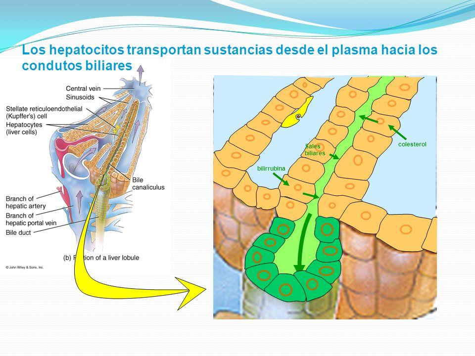 Los hepatocitos transportan sustancias desde el plasma hacia los condutos biliares bilirrubina Sales biliares colesterol