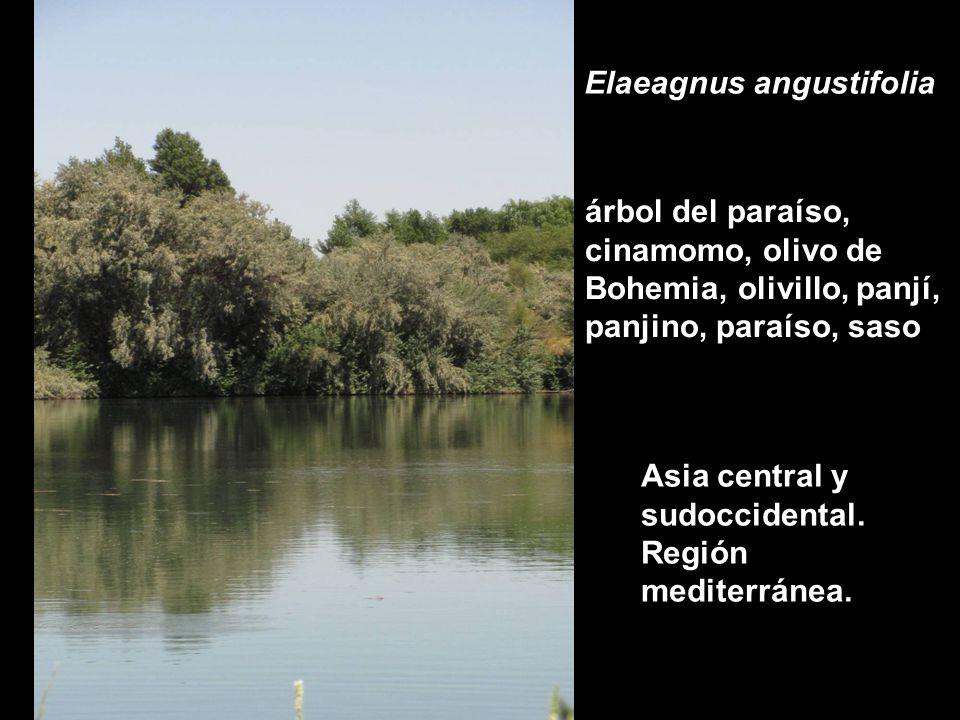 ESTRATEGIAS ECOLÓGICAS DE Elaeagnus angustifolia (Olivo de Bohemia) EN EL VALLE MEDIO DEL RÍO NEGRO (Patagonia, Argentina).