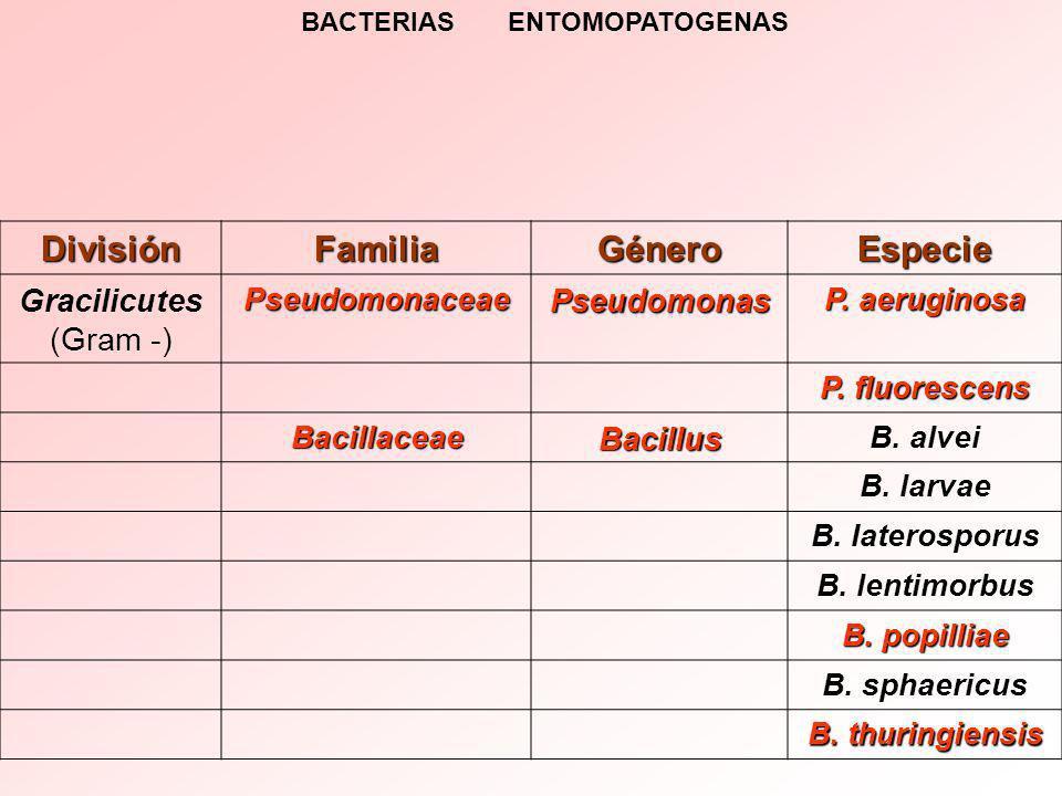 DivisiónFamiliaGéneroEspecie Gracilicutes (Gram -)PseudomonaceaePseudomonas P.