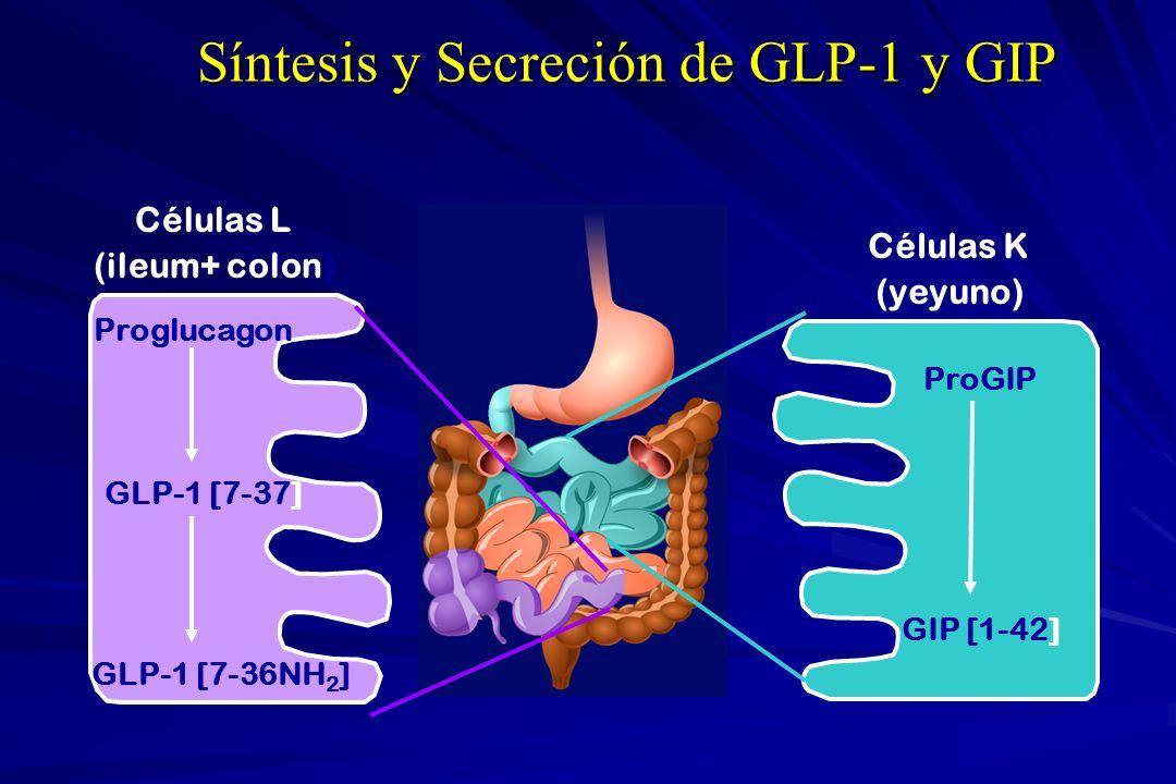 Células L (ileum+ colon) Proglucagon GLP-1 [7-37] GLP-1 [7-36NH 2 ] Células K (yeyuno) ProGIP GIP [1-42] Síntesis y Secreción de GLP-1 y GIP
