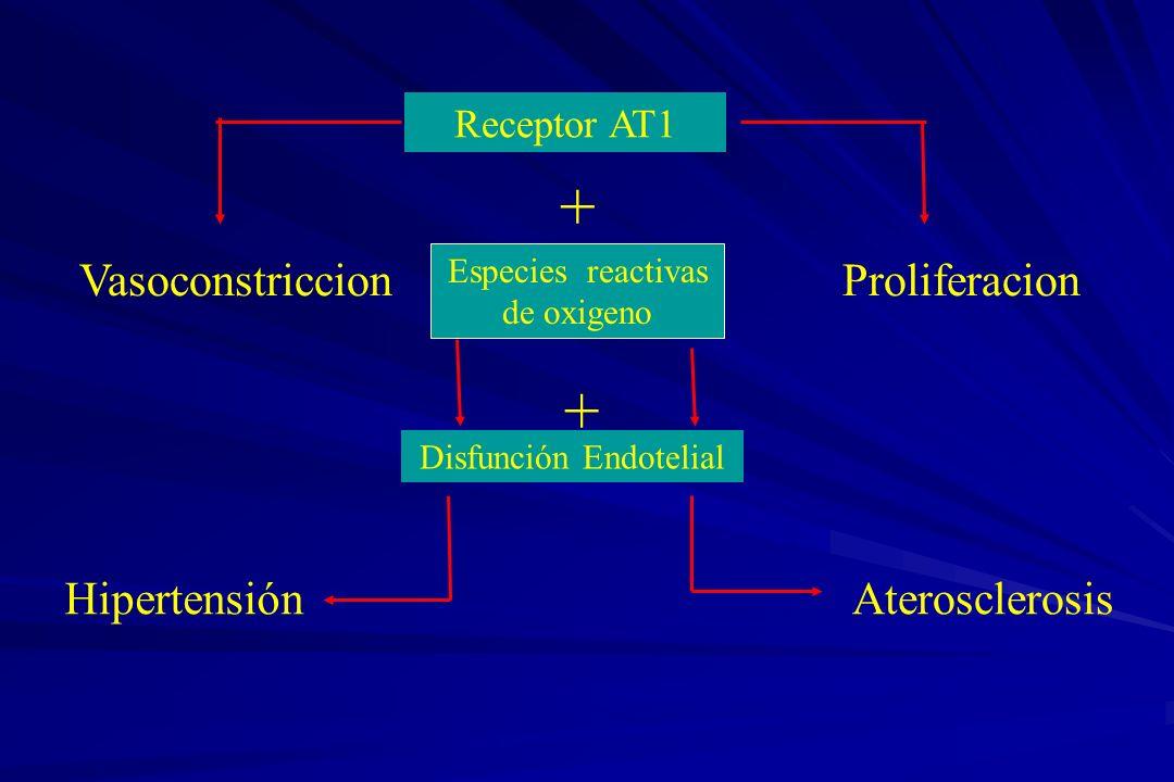 Receptor AT1 VasoconstriccionProliferacion Especies reactivas de oxigeno Disfunción Endotelial HipertensiónAterosclerosis + +